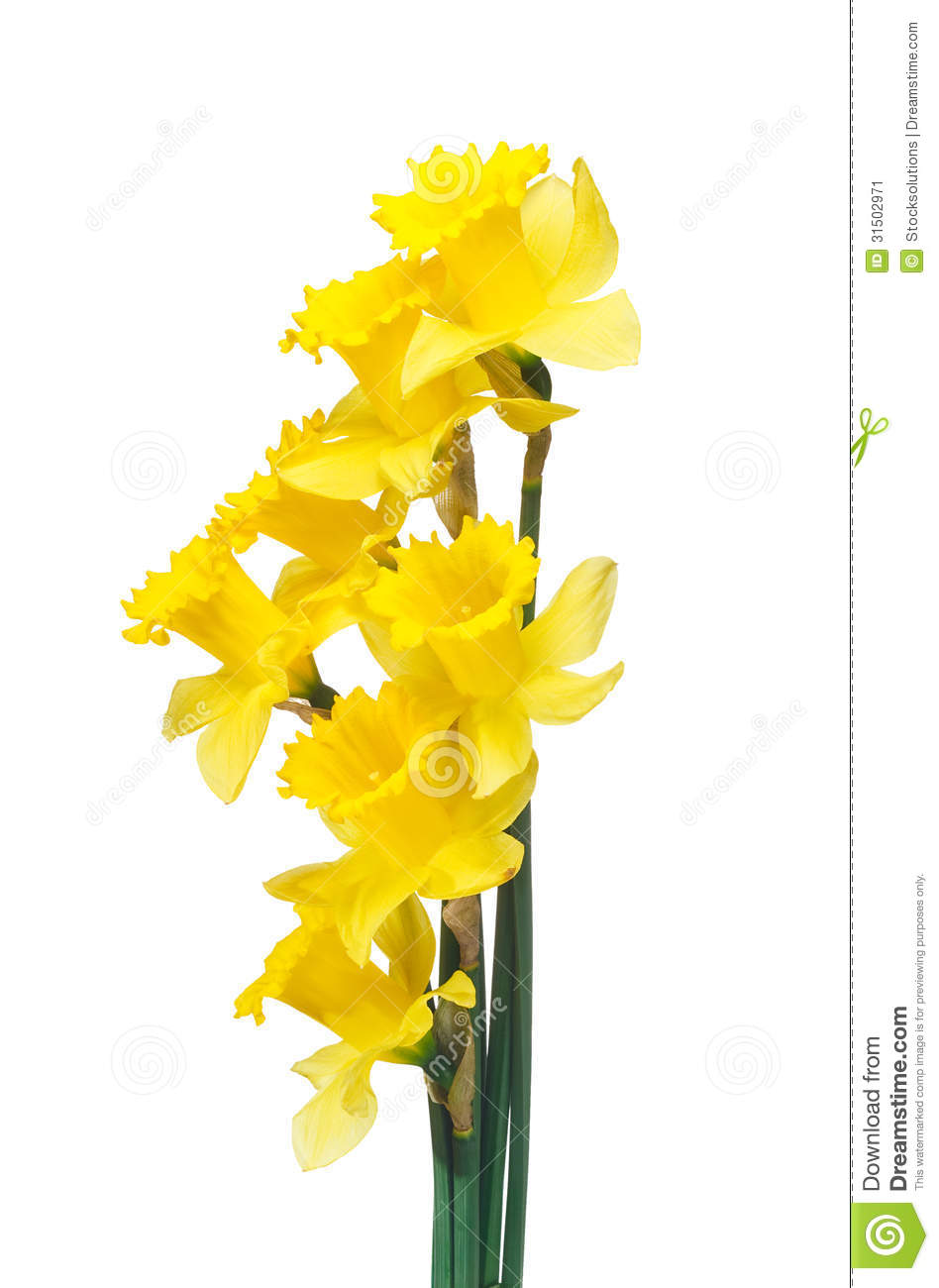 Daffodil Clip Art No Background - Floral delivery
