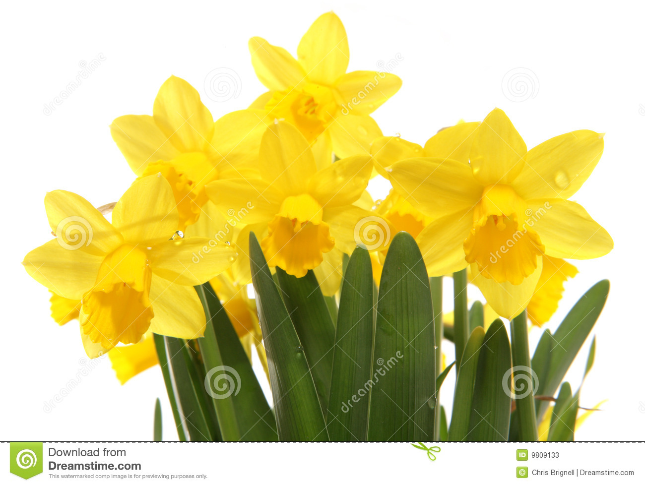 Spring Daffodils Cutout In A Studio Stock Image - Image of