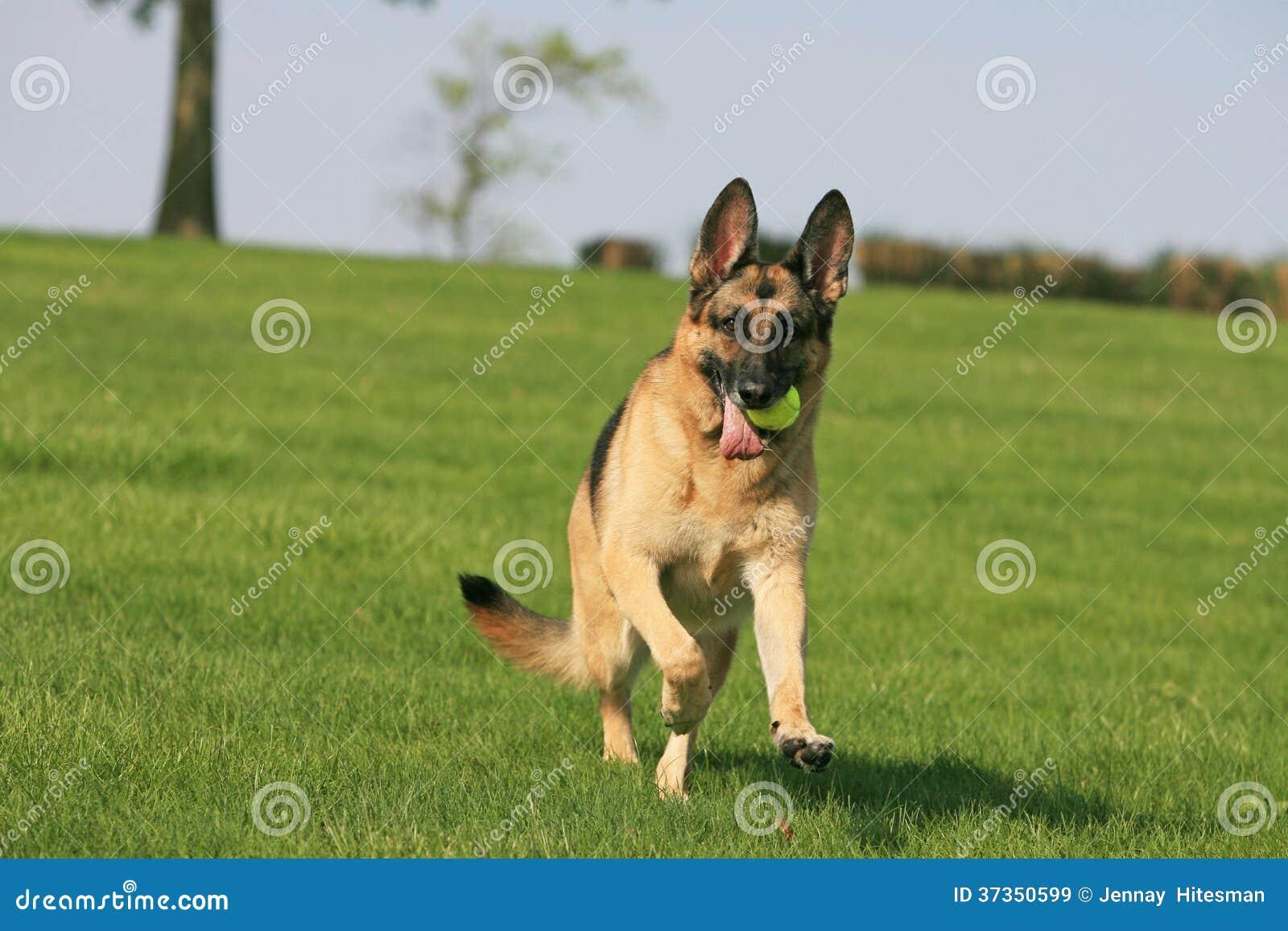Spring för tysk herde med bollen