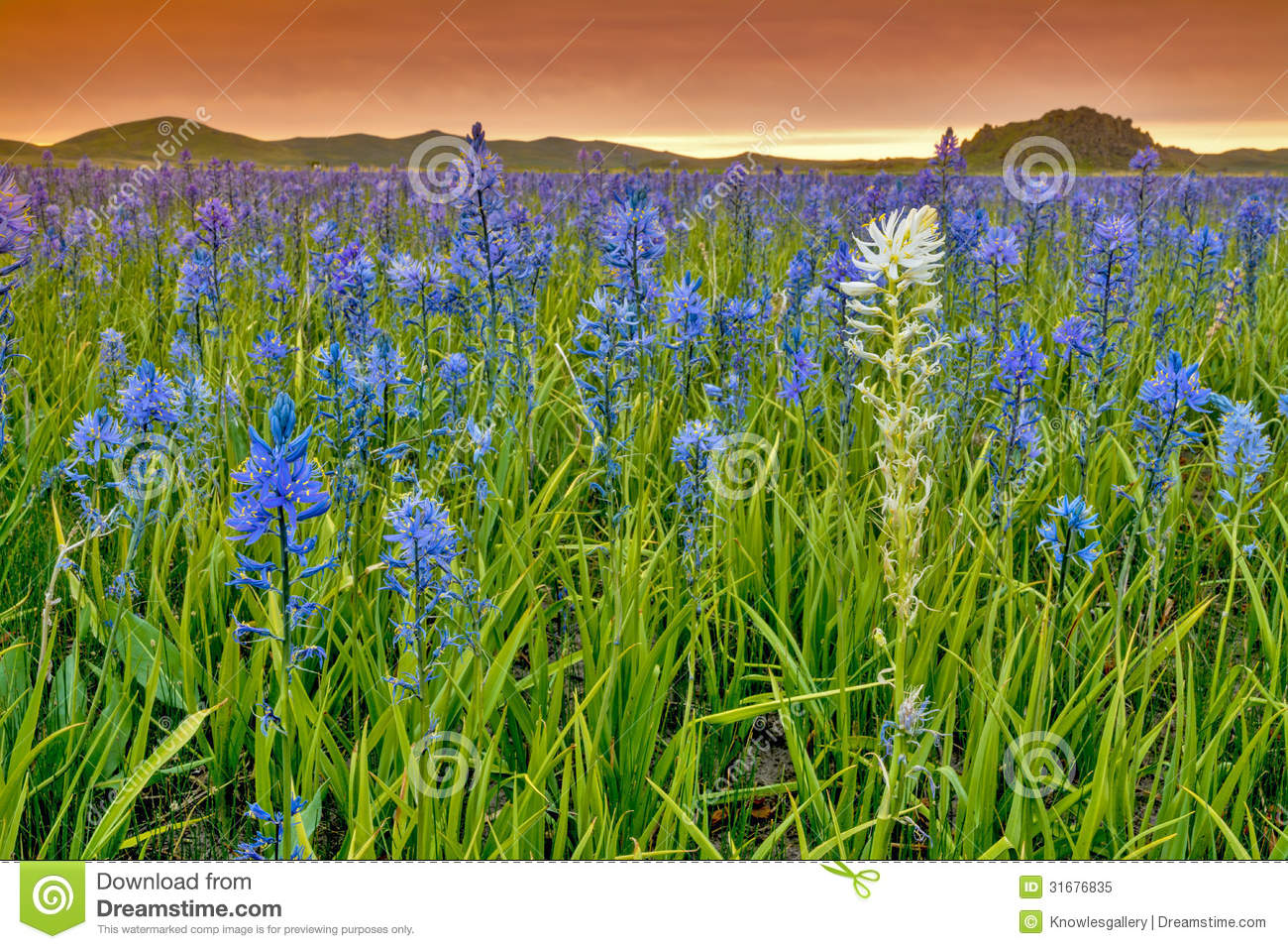 Picnic Basket Ennis : Spring field filled with blue wildflowers royalty free