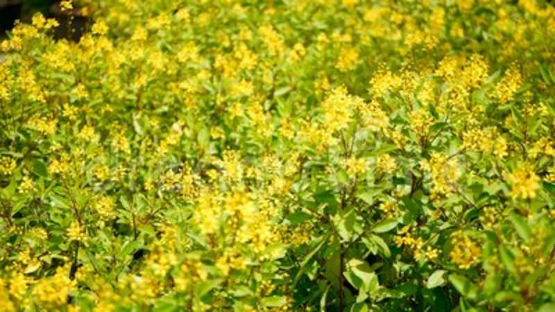 Spring field of small yellow flowers of galphimia evergreen shrub spring field of small yellow flowers of galphimia evergreen shrub of star shaped golden thryallis glauca stock footage video of golden mightylinksfo