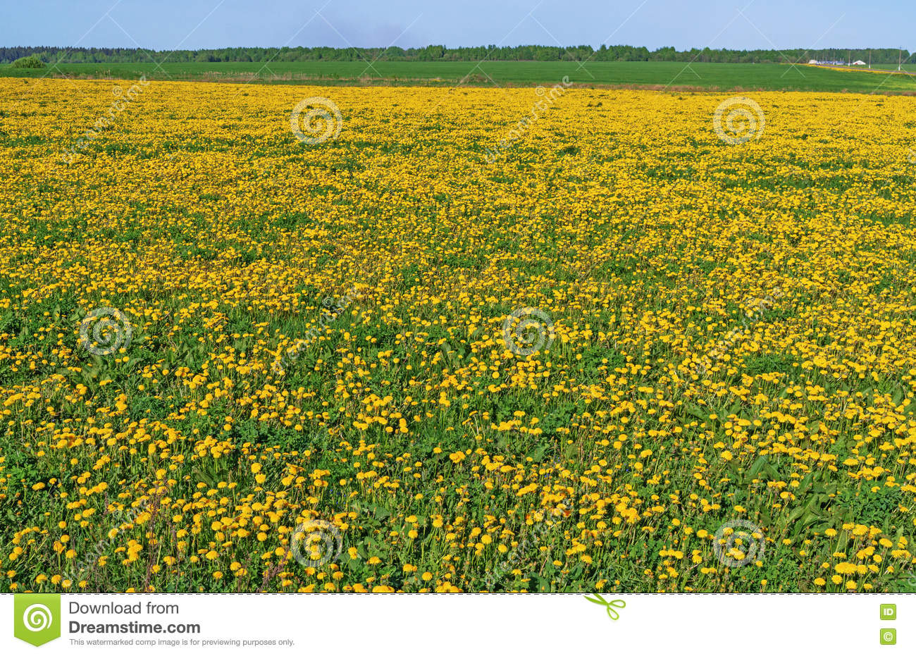 Spring Field With Yellow Dandelions Stock Photo Image Of Country