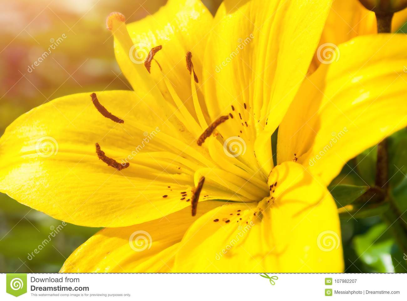 Spring flower background lily flower of yellow color blooming in spring flower background lily flower of yellow color blooming in the garden izmirmasajfo
