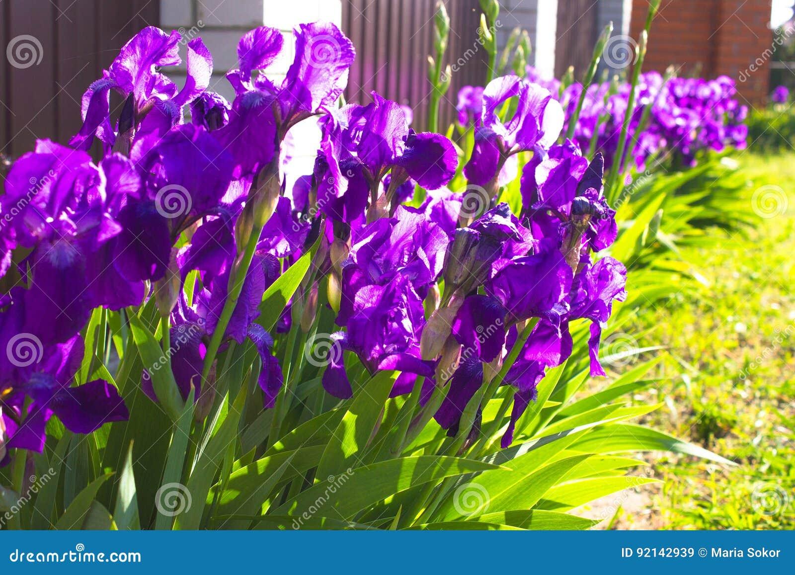 Spring Flower Background Purple Early Spring Iris Flower Under