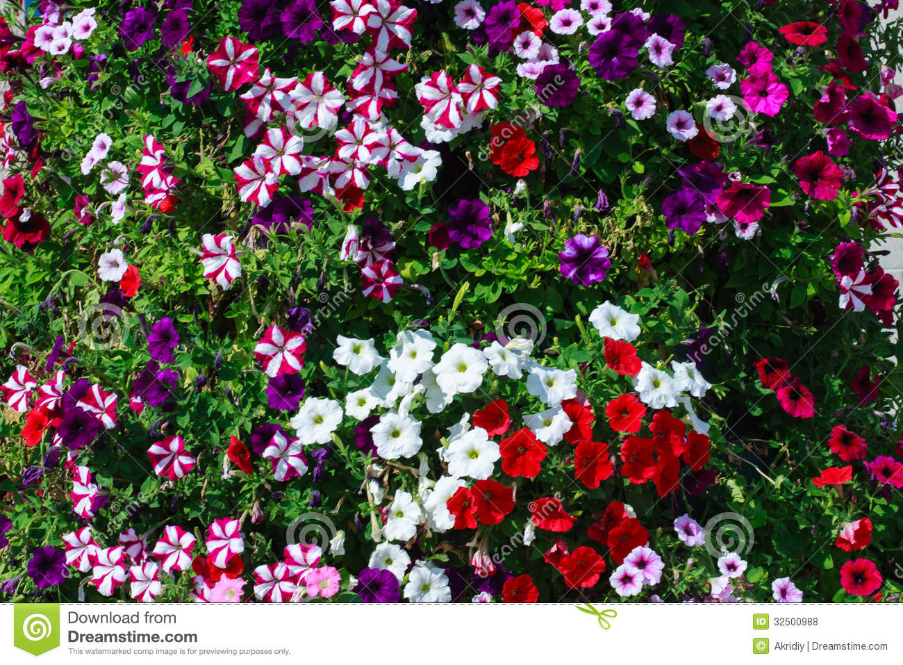 Spring Flower Beds With Hot Pink Red White And Purple Petunias