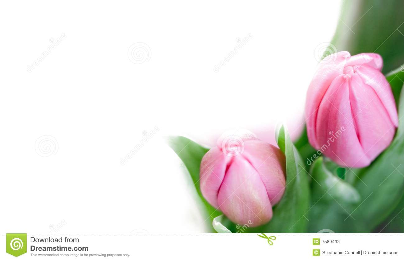 Pink tulip image background border with copspace and framing.