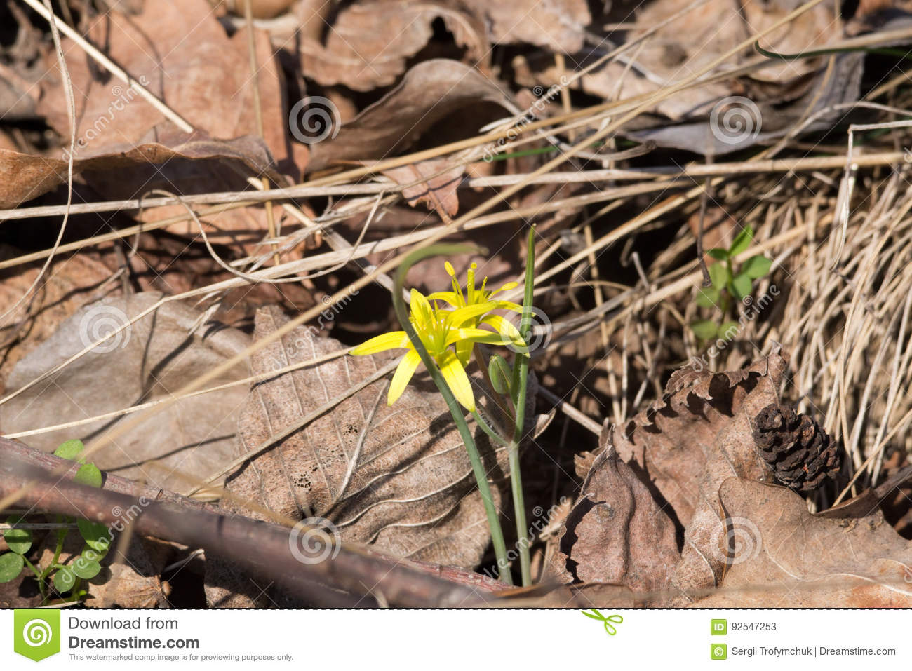 Spring flower gagea lutea or yellow star of bethlehem lily family download spring flower gagea lutea or yellow star of bethlehem lily family edible mightylinksfo