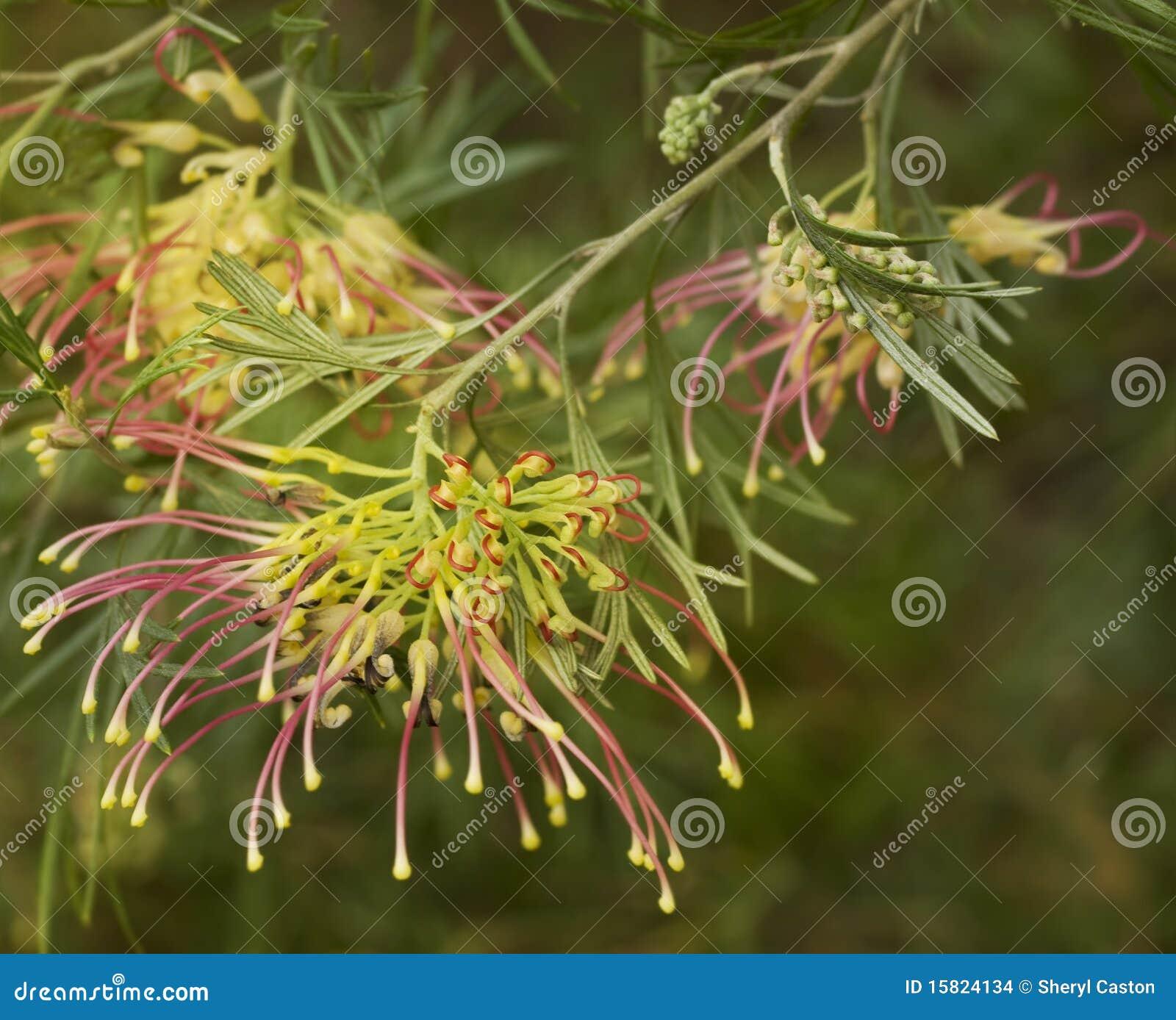 Green Gem Asparagus: Spring Flower Grevillea Winpara Gem Shrub Stock Images
