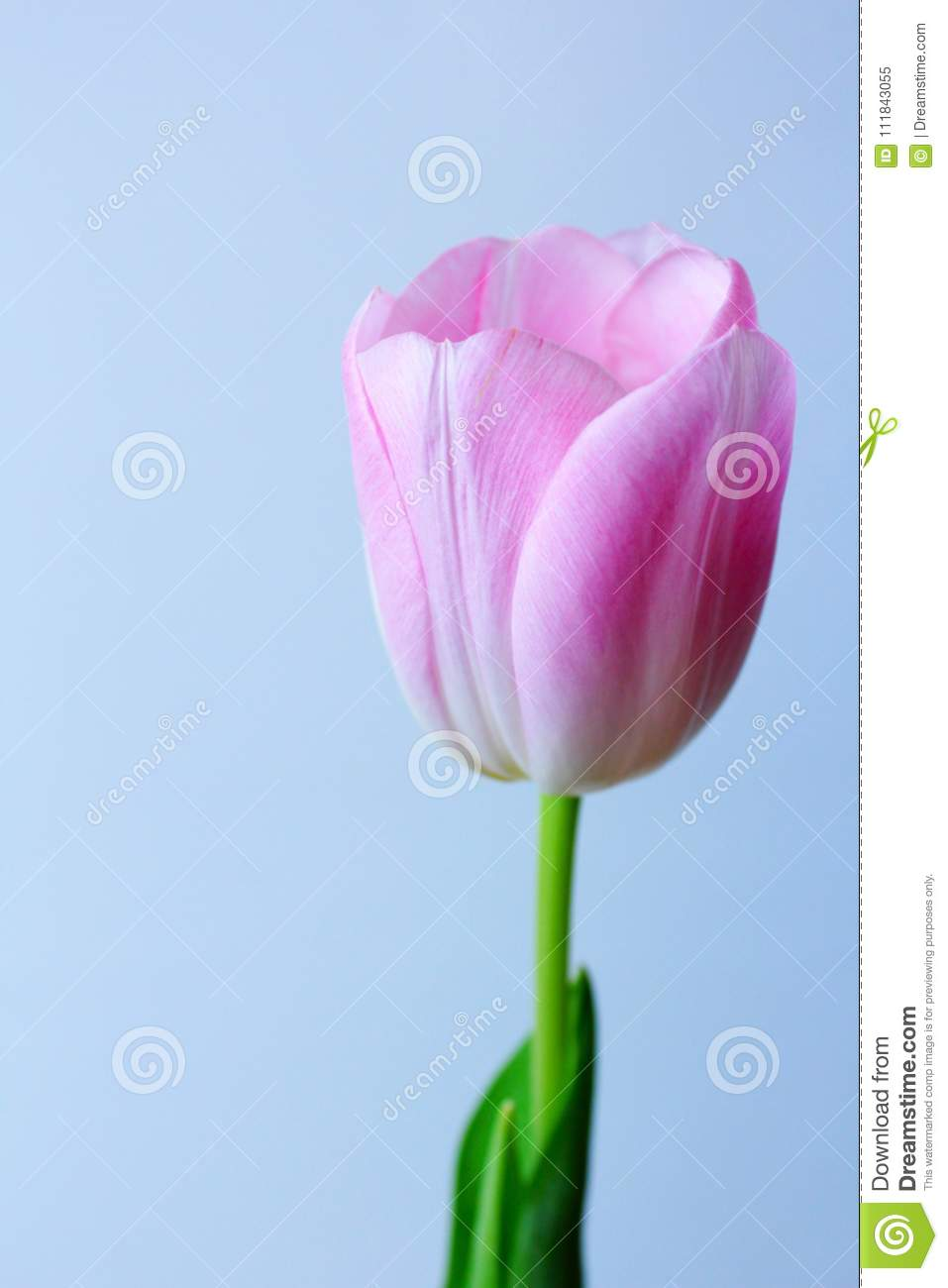 Spring Flower Light Pink Tulipllow Core Delicate Pink Petals Of