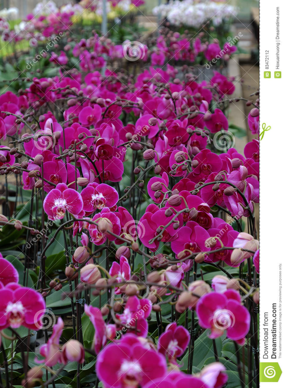 Spring Flower For Tet Dalat Orchid Garden Stock Photo Image Of
