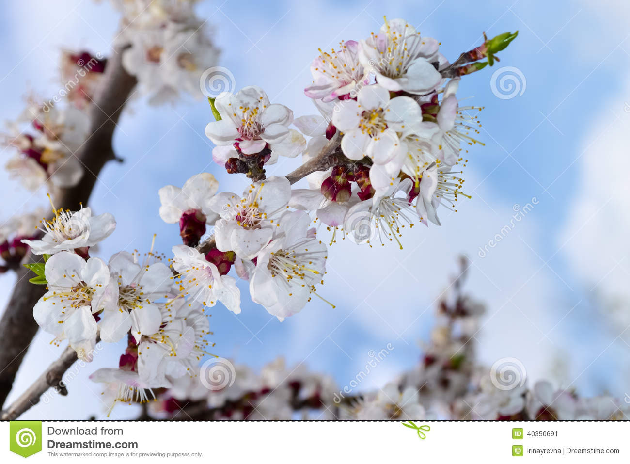 Spring Flowering Apricot Flower Blue Sky Fruit Tree Branch With The