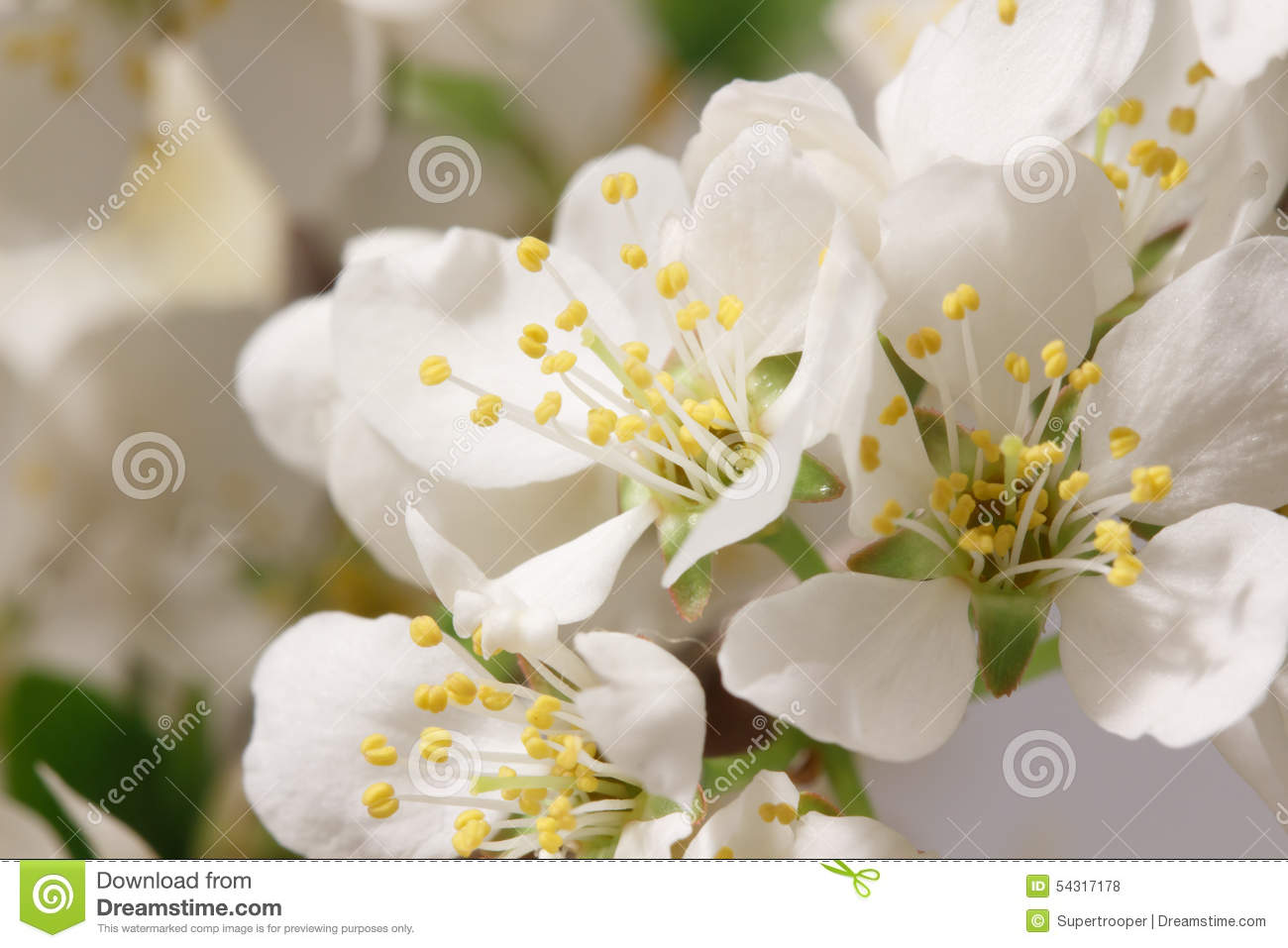 Spring Flowering Stock Photo Image Of Angiosperms Glory 54317178