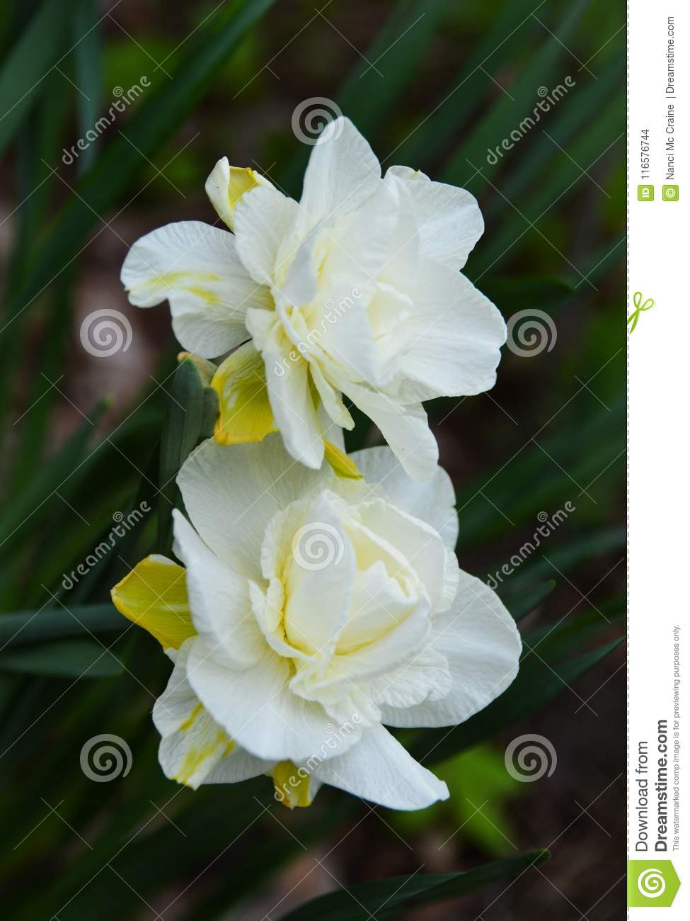 White Daffodils Tinged With Yellow Flower In Garden Stock Photo