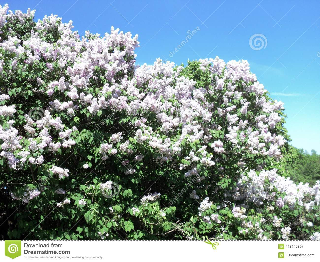 Spring Flowering Lilac Bushes In The Botanical Garden Stock Image
