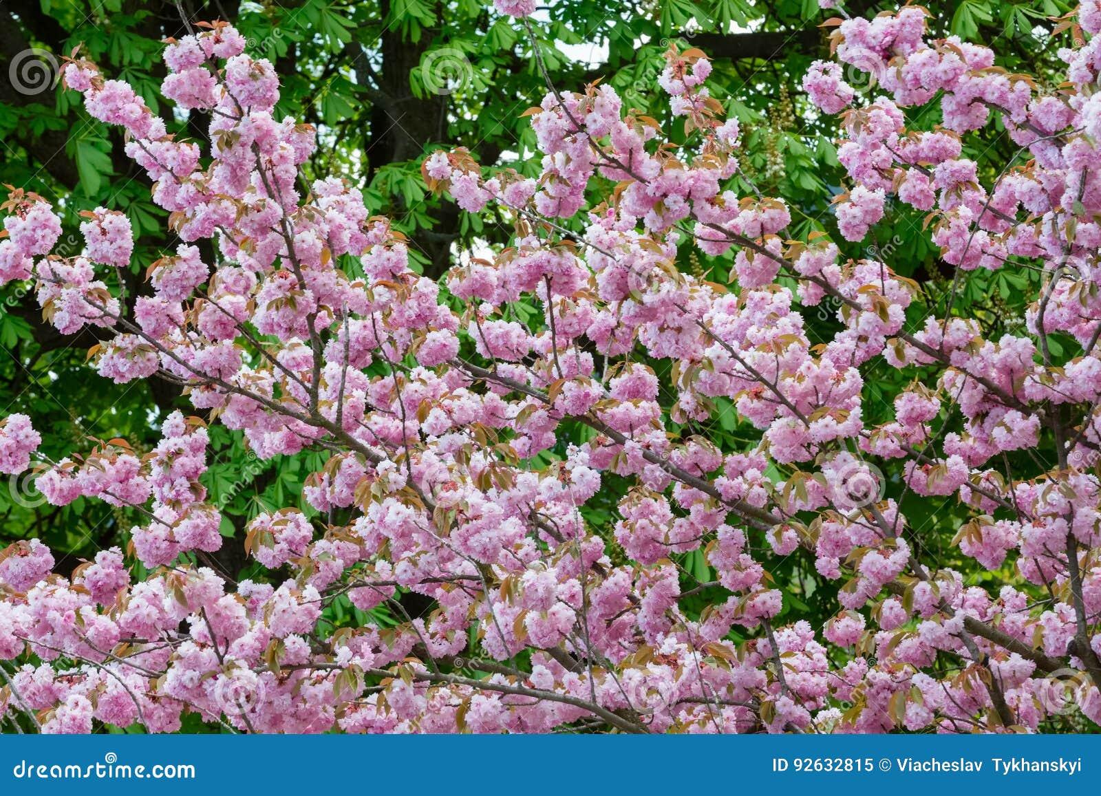 Spring flowering sakura