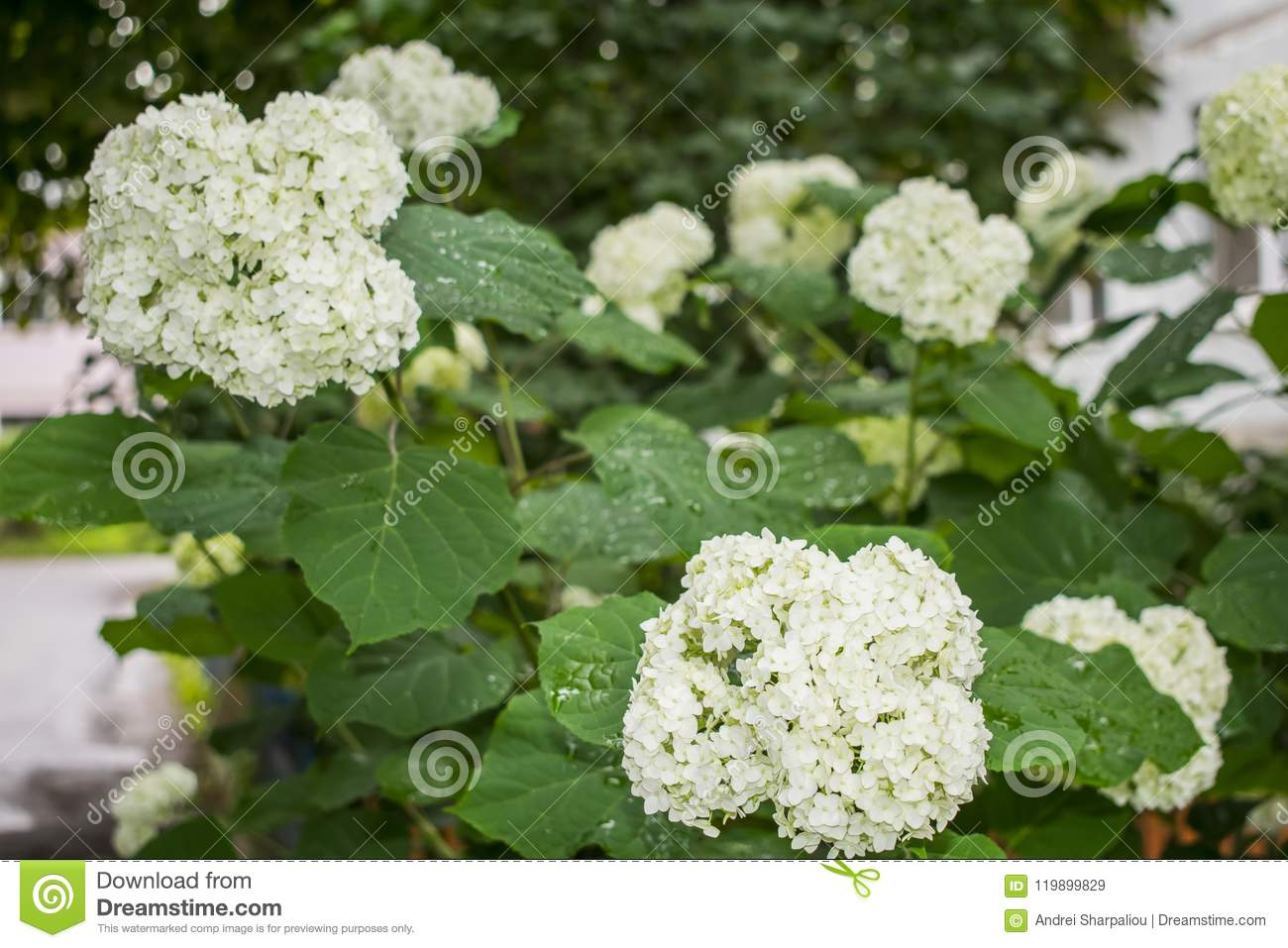 Spring Blooming Shrubbery Decorative Round White Flowers Stock