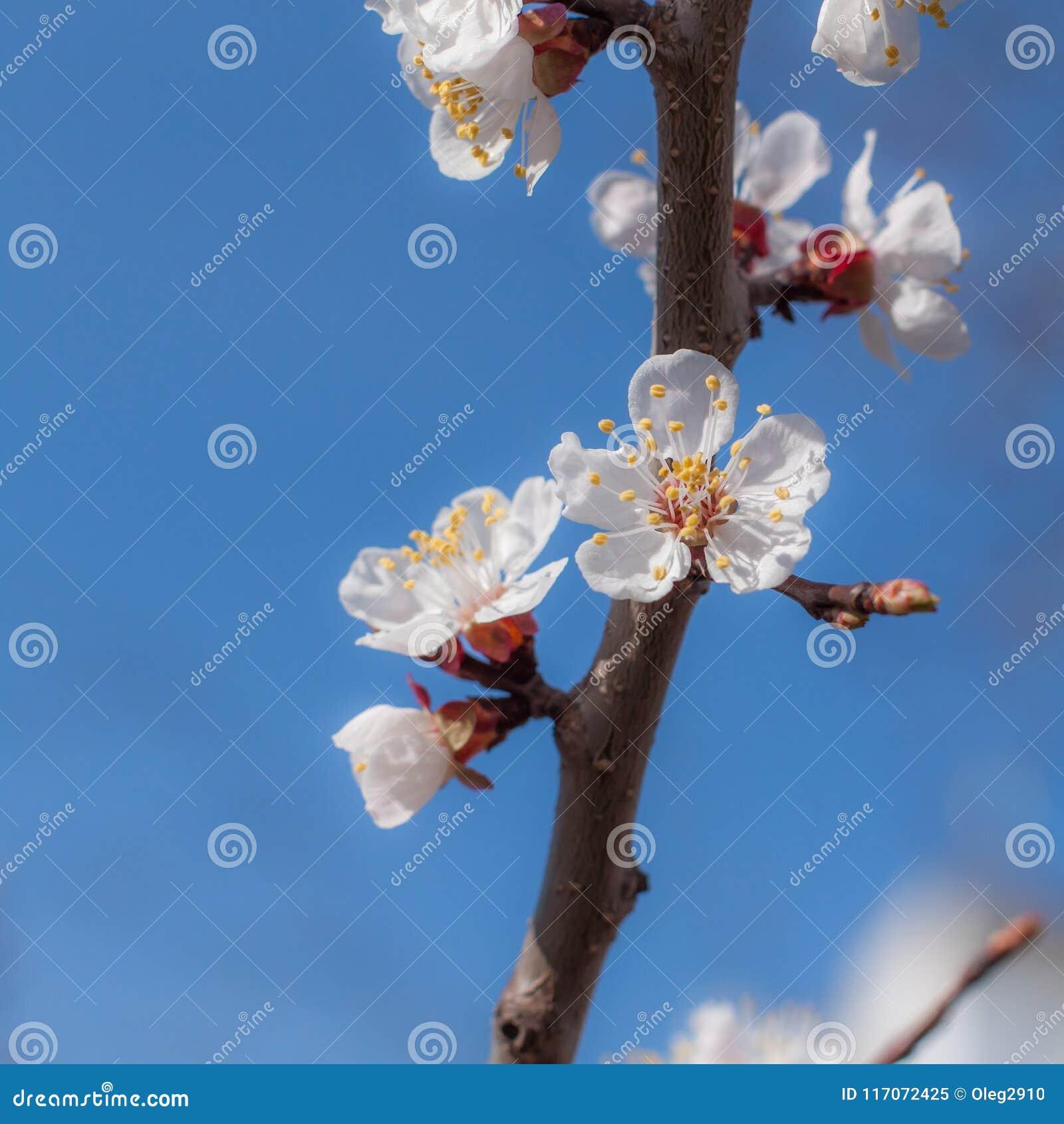 Spring flowering trees on the blue sky stock image image of blue spring flowering trees on the blue sky izmirmasajfo