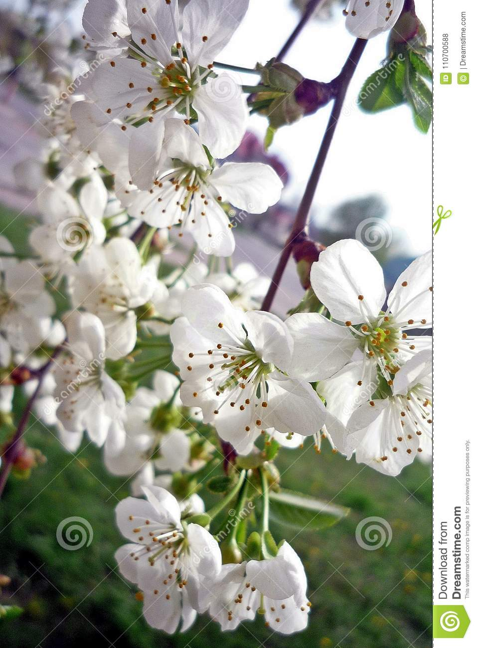 Spring flowering trees flowering branches of a tree stock photo flowers fragrant tree branch white spring sunny cherry floral pink garden flower atmosphere mightylinksfo