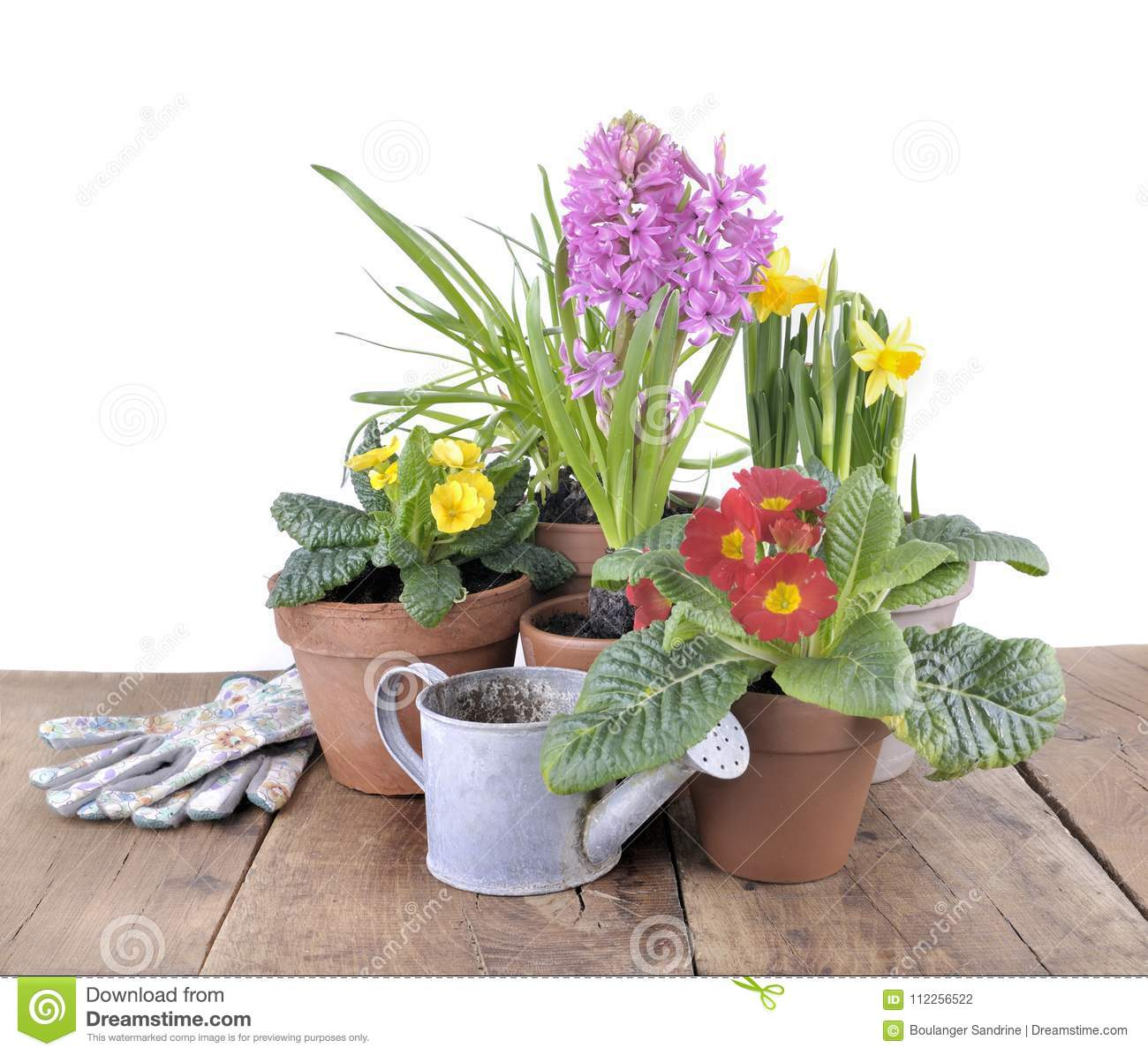 Spring Potted Flowers On Table Stock Photo Image Of Primrose