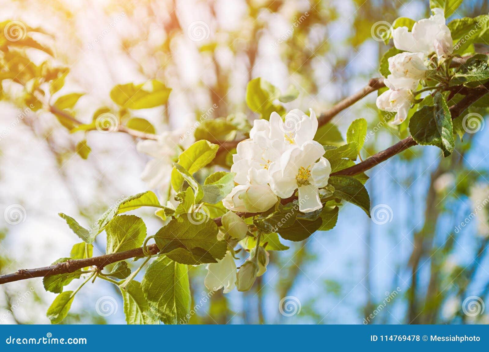 Spring White Flowers Of Blooming Apple Tree Spring Flower