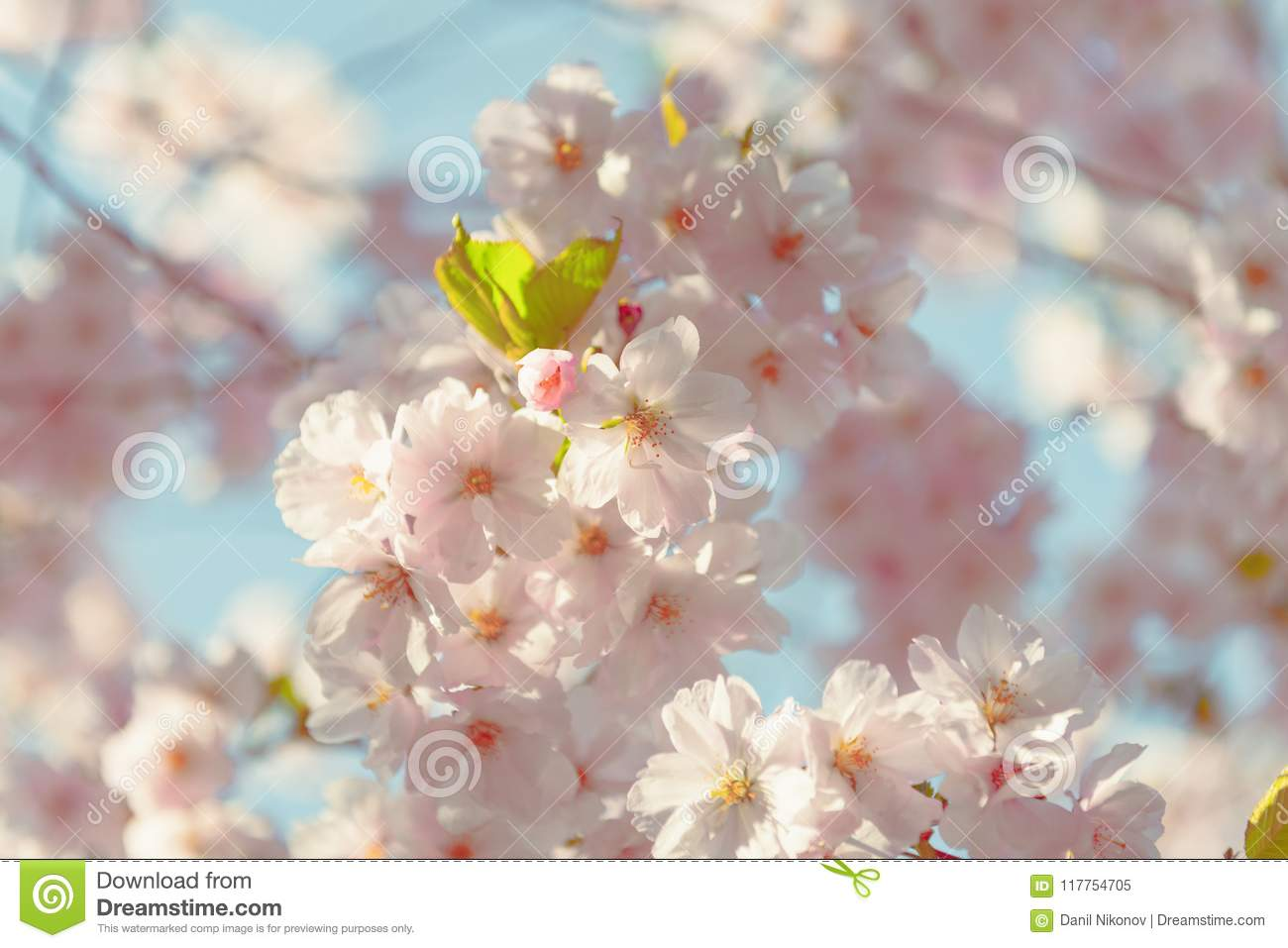 661709f43a3 Beautiful colorful fresh spring flowers with clear blue sky. Spring pink  blossoms with blur sky background. Spring background. Greeting card for  Mother`s ...
