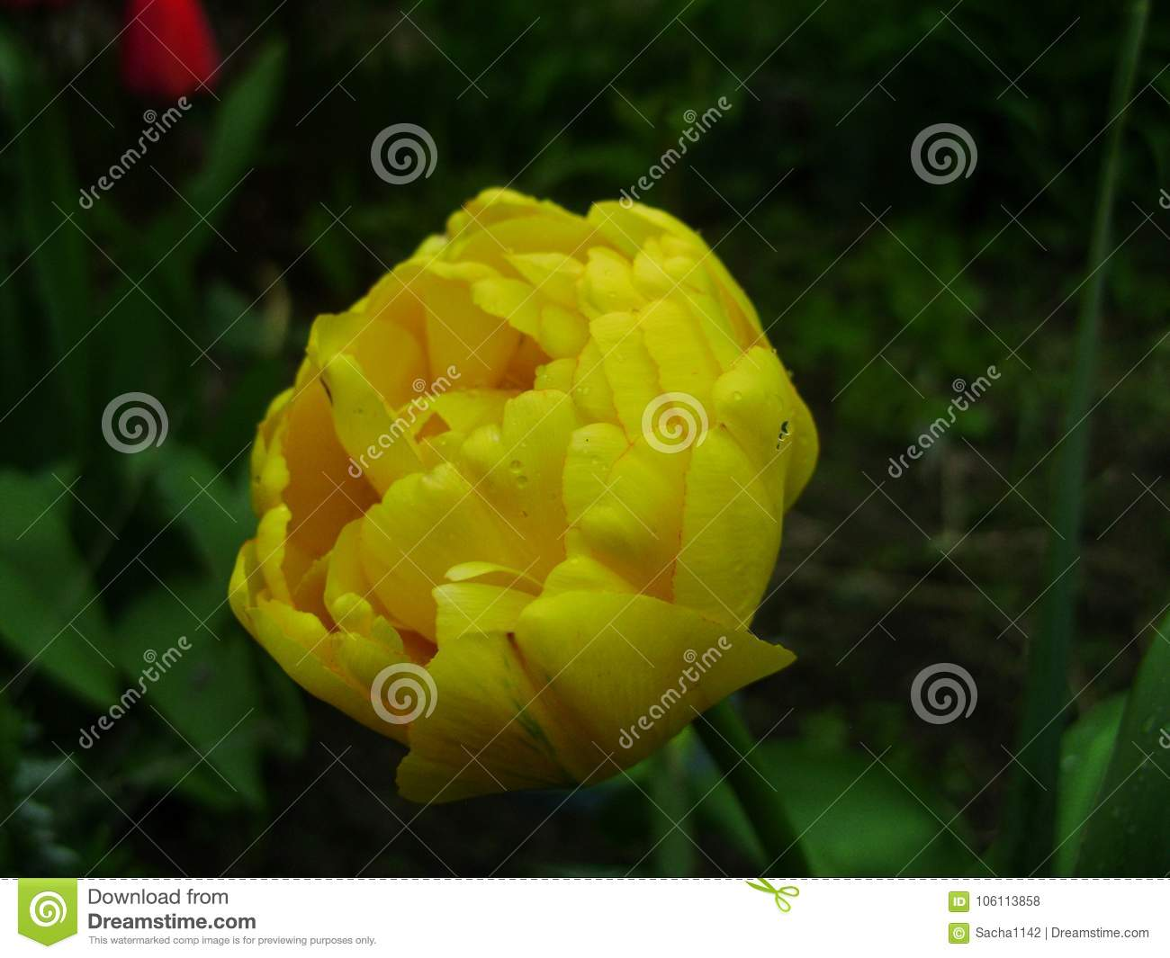 Spring flowers banner of yellow tulip flower flower tulips download spring flowers banner of yellow tulip flower flower tulips background beautiful view of mightylinksfo
