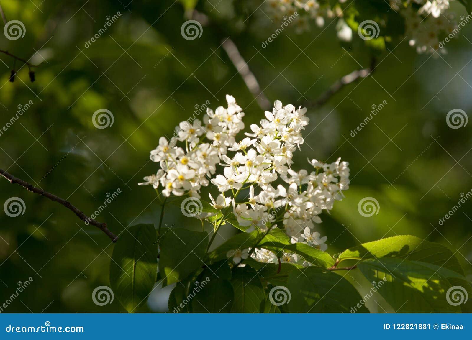 Spring flowers bird spring flowers bird cherry a tree with wh download spring flowers bird spring flowers bird cherry a tree with wh stock mightylinksfo