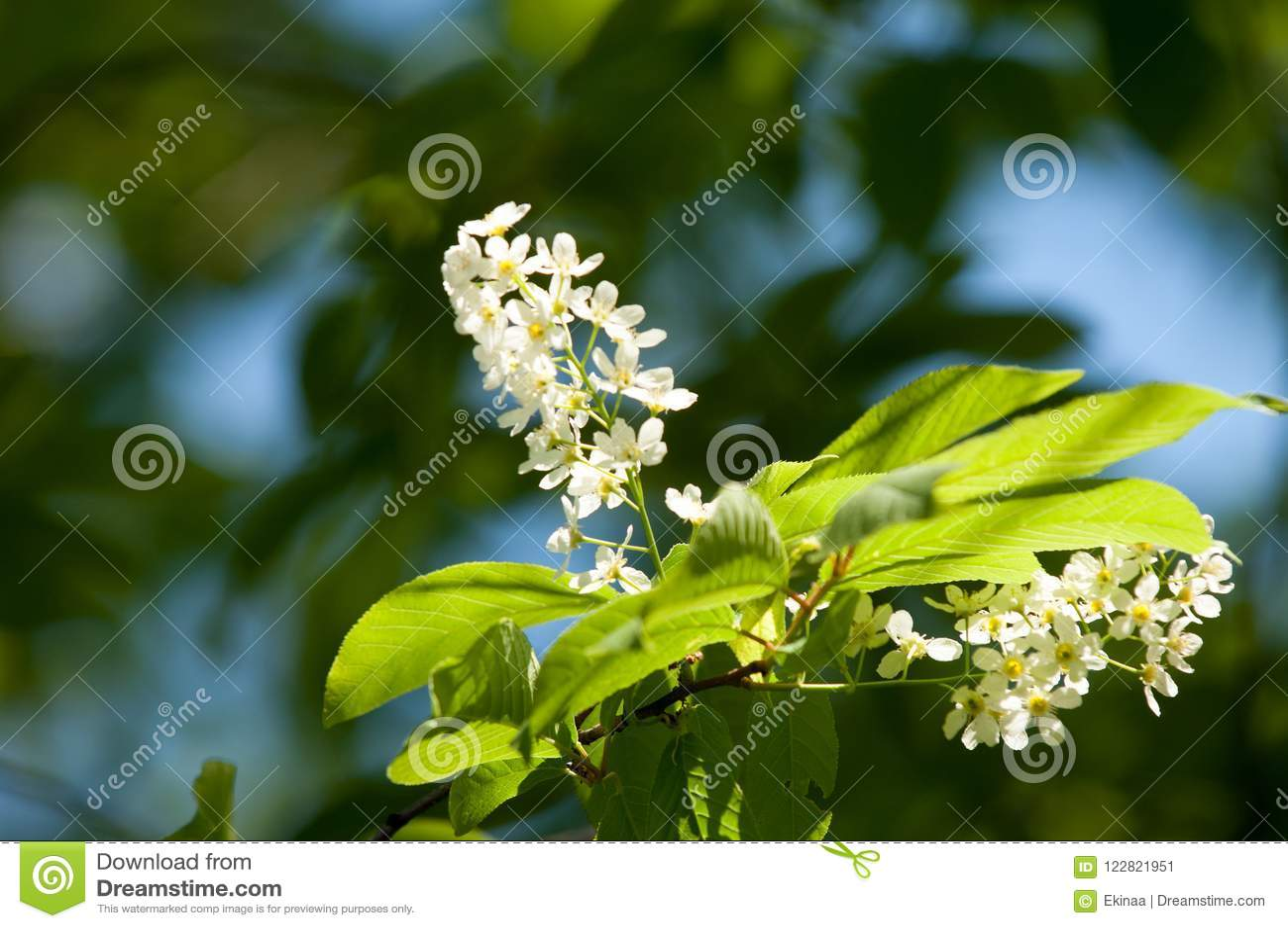 Spring Flowers Bird Spring Flowers Bird Cherry A Tree With White