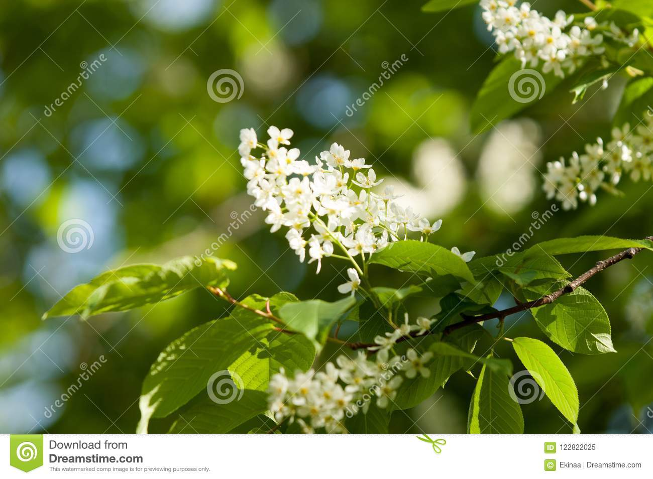 Spring Flowers Bird Spring Flowers Bird Cherry A Tree With