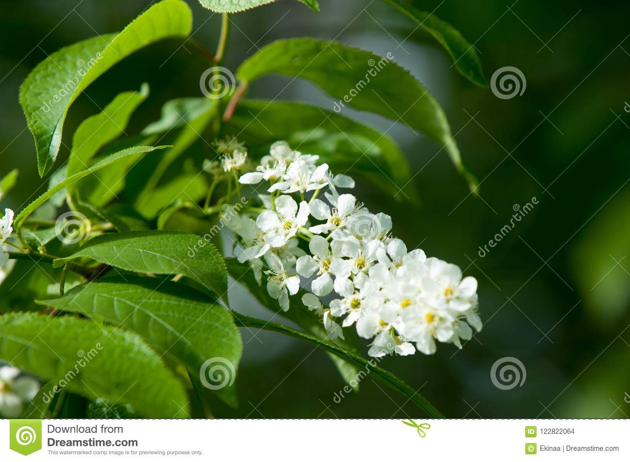 Spring flowers bird spring flowers bird cherry a tree with wh spring flowers bird cherry a tree with white fragrant flowers collected in a brush and black berries a small wild cherry tree or shrub mightylinksfo