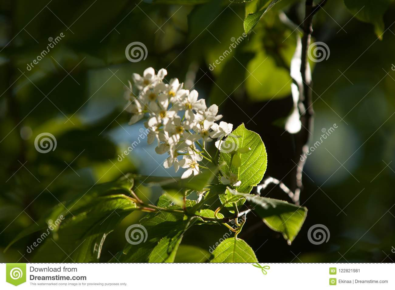 Spring Flowers Bird Spring Flowers Bird Cherry A Tree With Wh