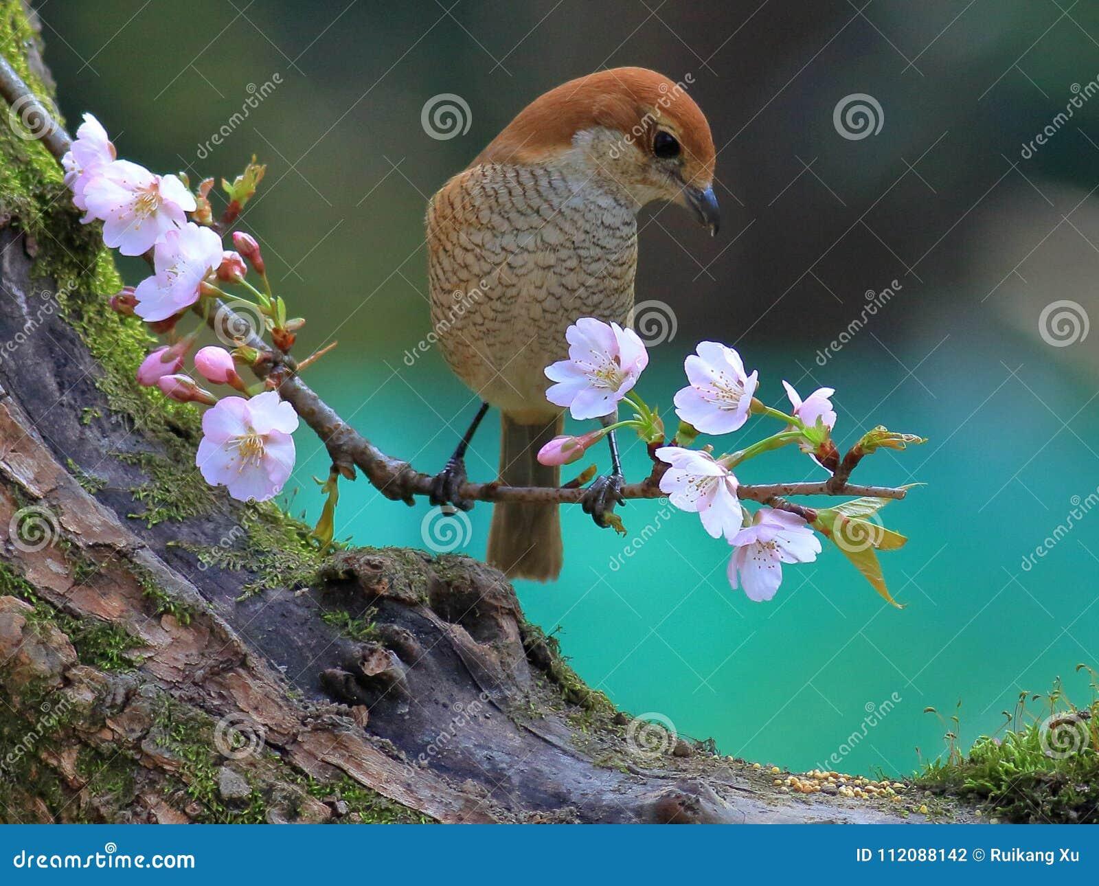 Spring Flowers And Birds Bull Headed Shrike And Cherry Blossoms