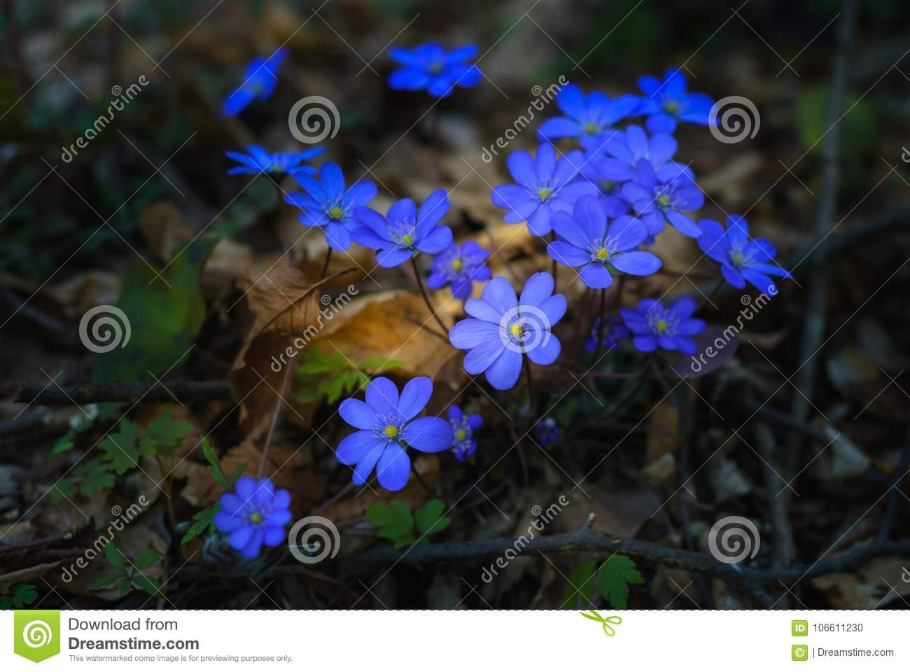Spring flowers blooming hepatica nobilis in forest sunny day hepatica nobilis small spring purple flowers surrounded with brown leaves on the wet ground mightylinksfo