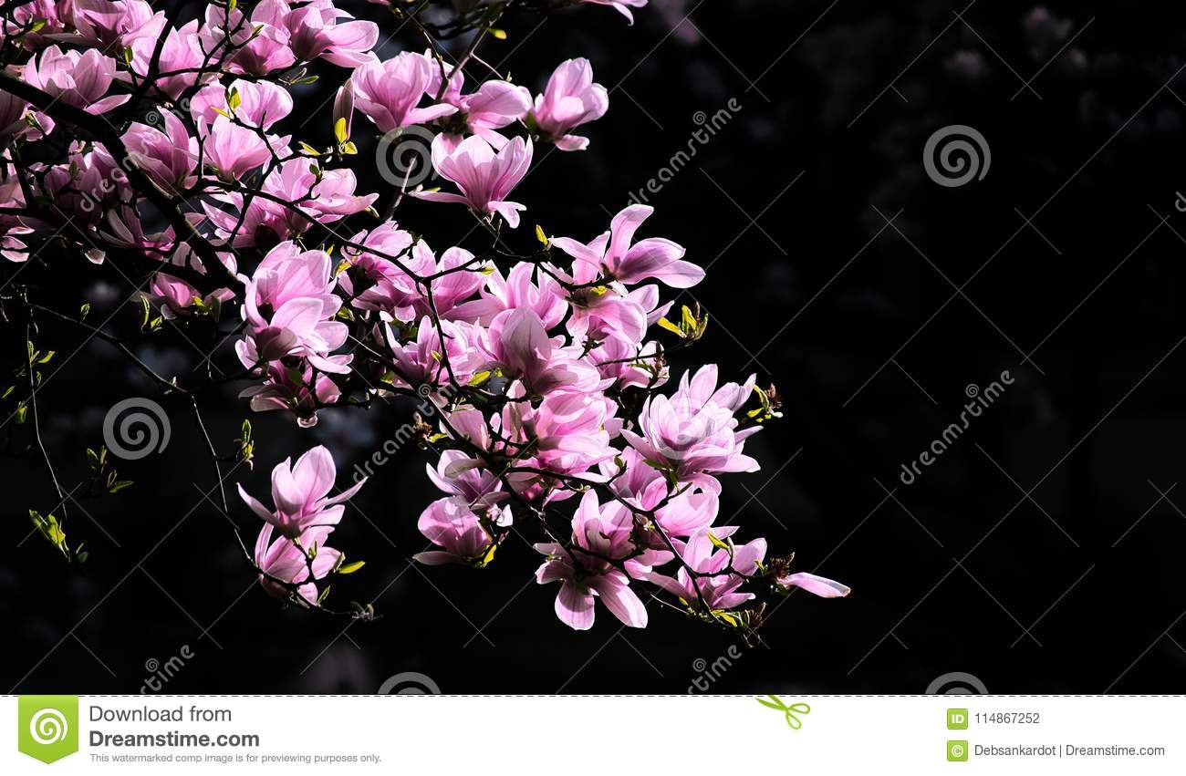 Spring Flower In Branches Of Tress Stock Photo Image Of Fresh