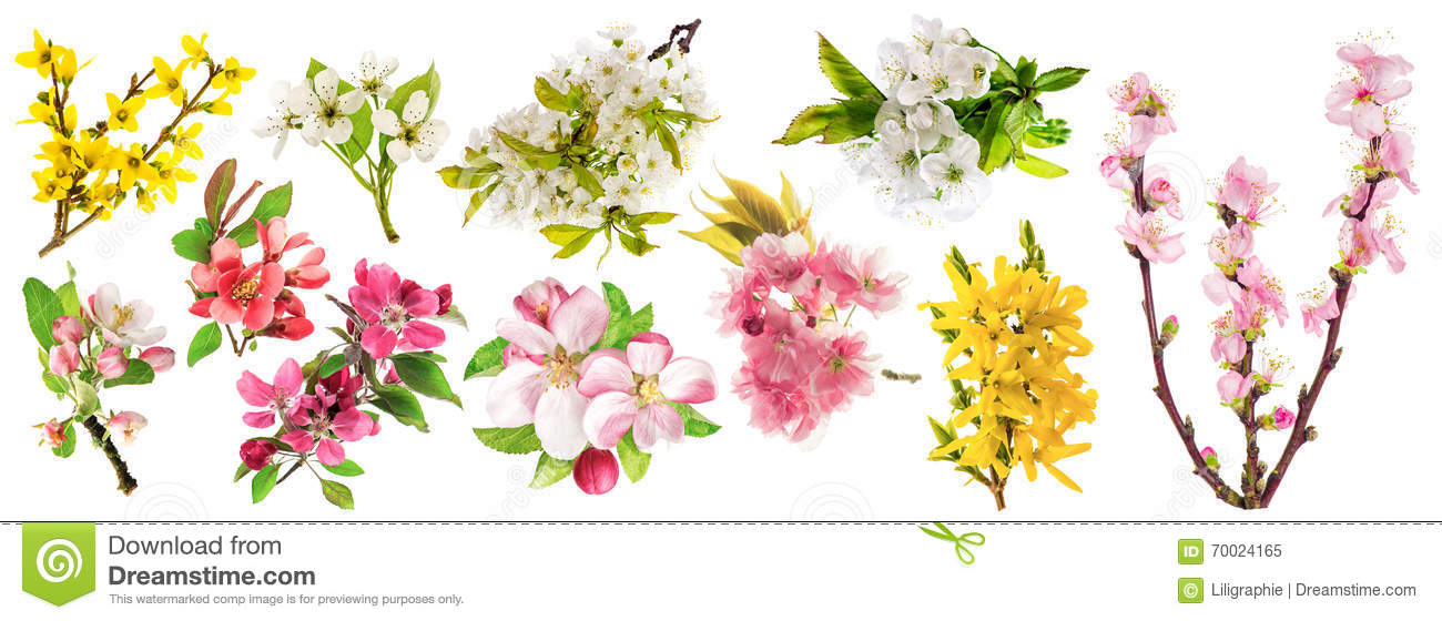 Spring flowers. Blossoms apple tree cherry twig almond pear