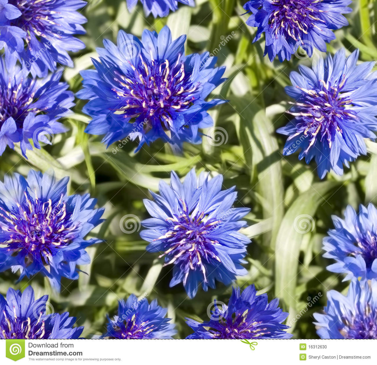 Spring flowers blue cornflower wallpaper stock photo image 16312630 blue cornflower green spring dhlflorist Choice Image