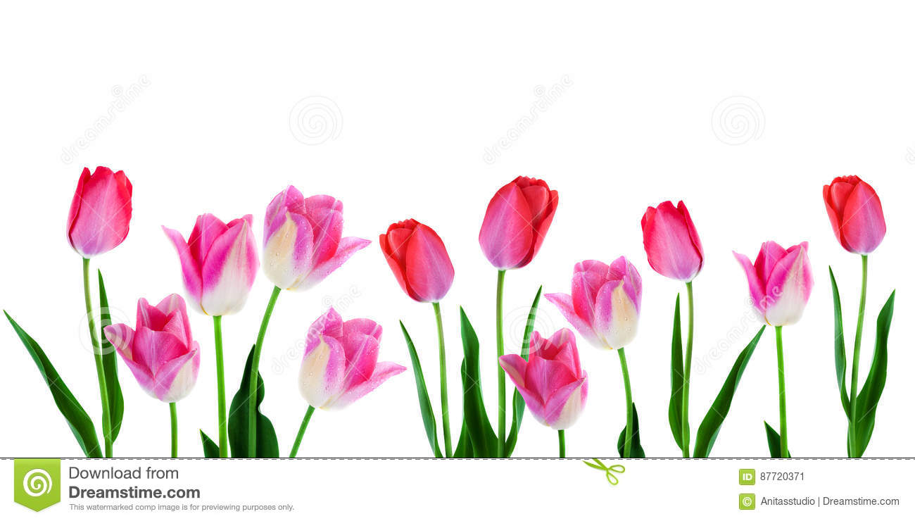 Spring Flowers Border Banner Pink Tulips In Row On White
