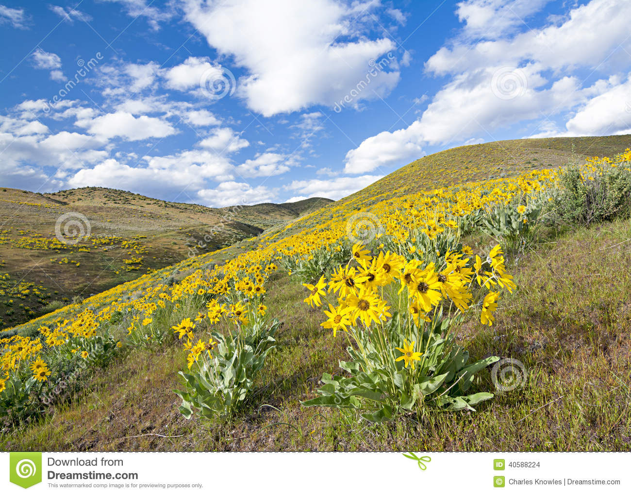 Spring Flowers Cover A Hillside With Yellow Stock Photo Image Of