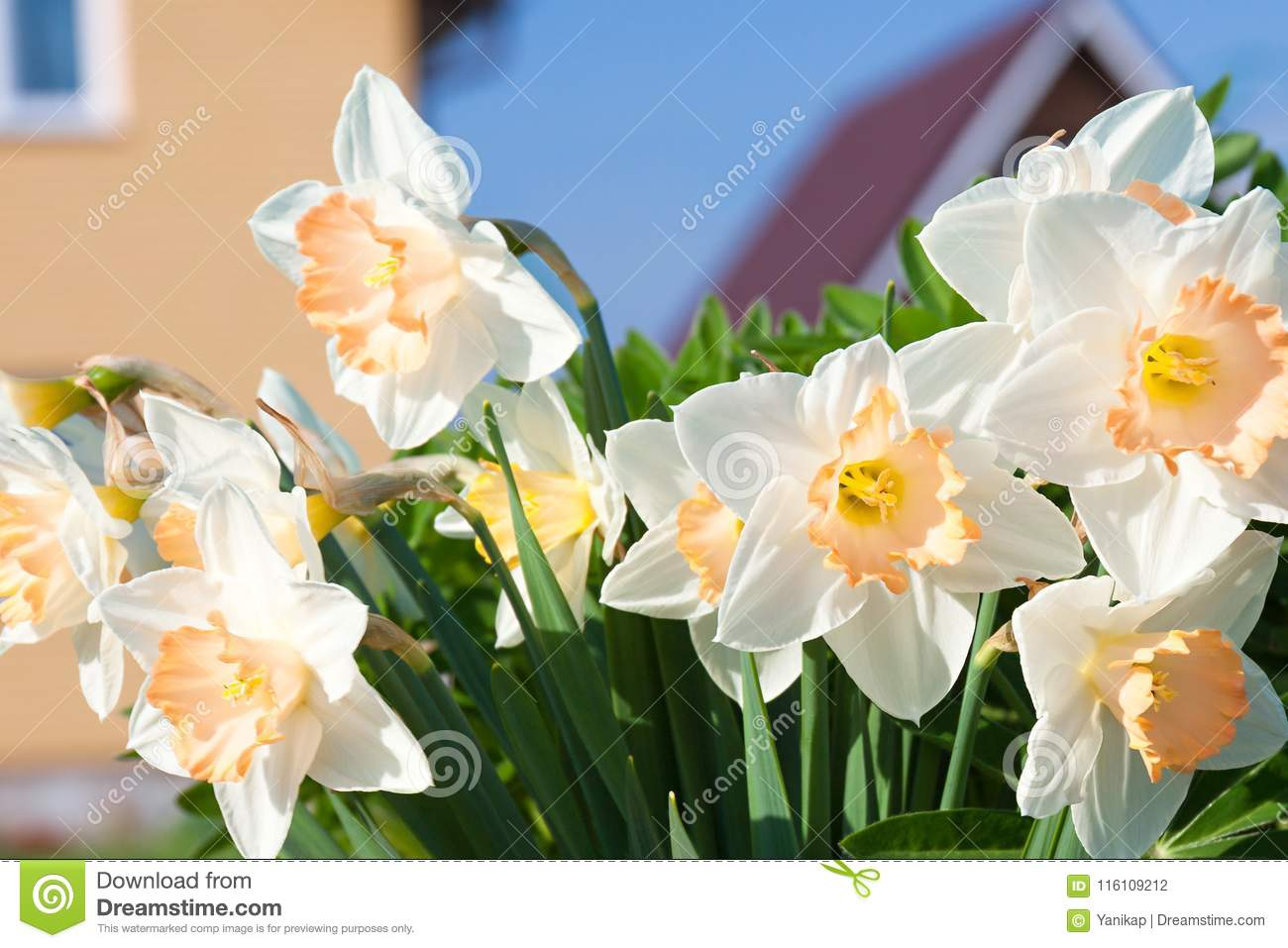 Spring flowers daffodils blossomed in garden stock photo image of spring flowers daffodils blossomed in garden mightylinksfo