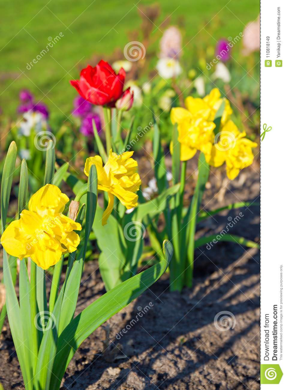 Spring Flowers Daffodils And Tulips Flowering In Garden On A Flo