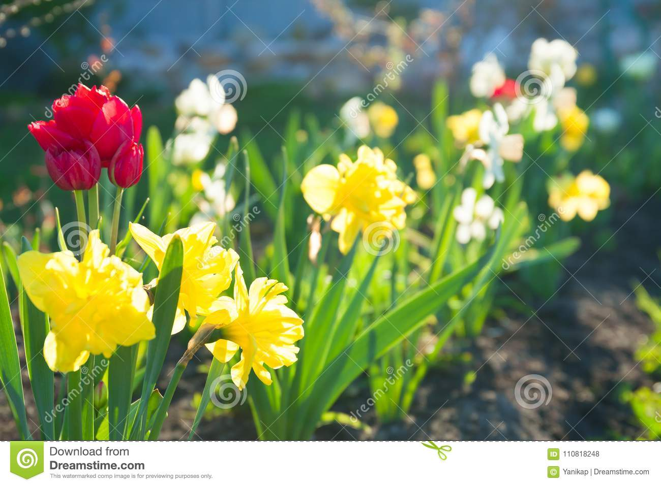 Spring flowers daffodils and tulips flowering in garden on a flo download spring flowers daffodils and tulips flowering in garden on a flo stock photo image mightylinksfo