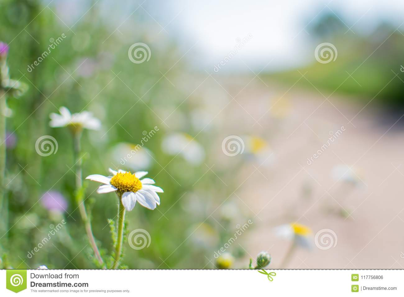 Spring Flowers Daisy With Bokeh Background In A Path Stock Photo