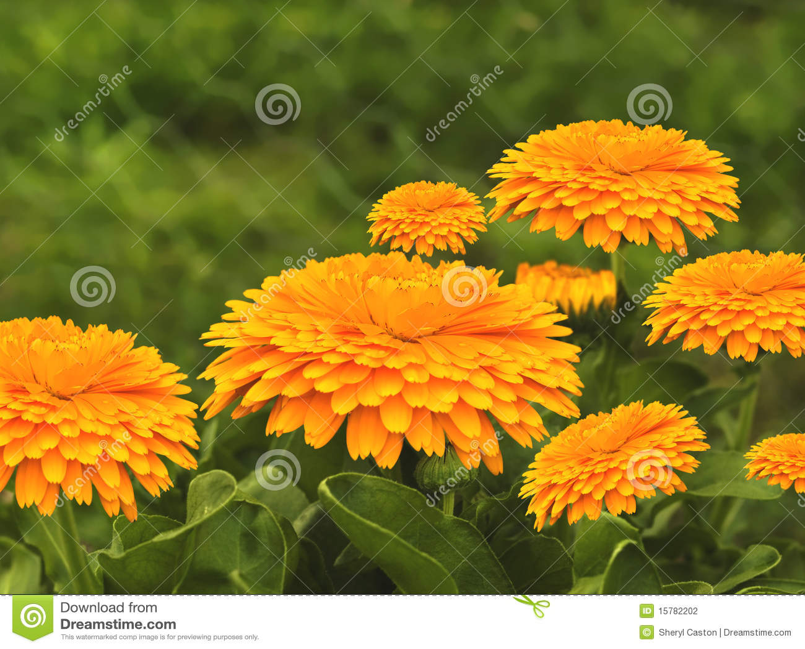 Spring Flowers Golden Calendula Background Stock Photo Image Of