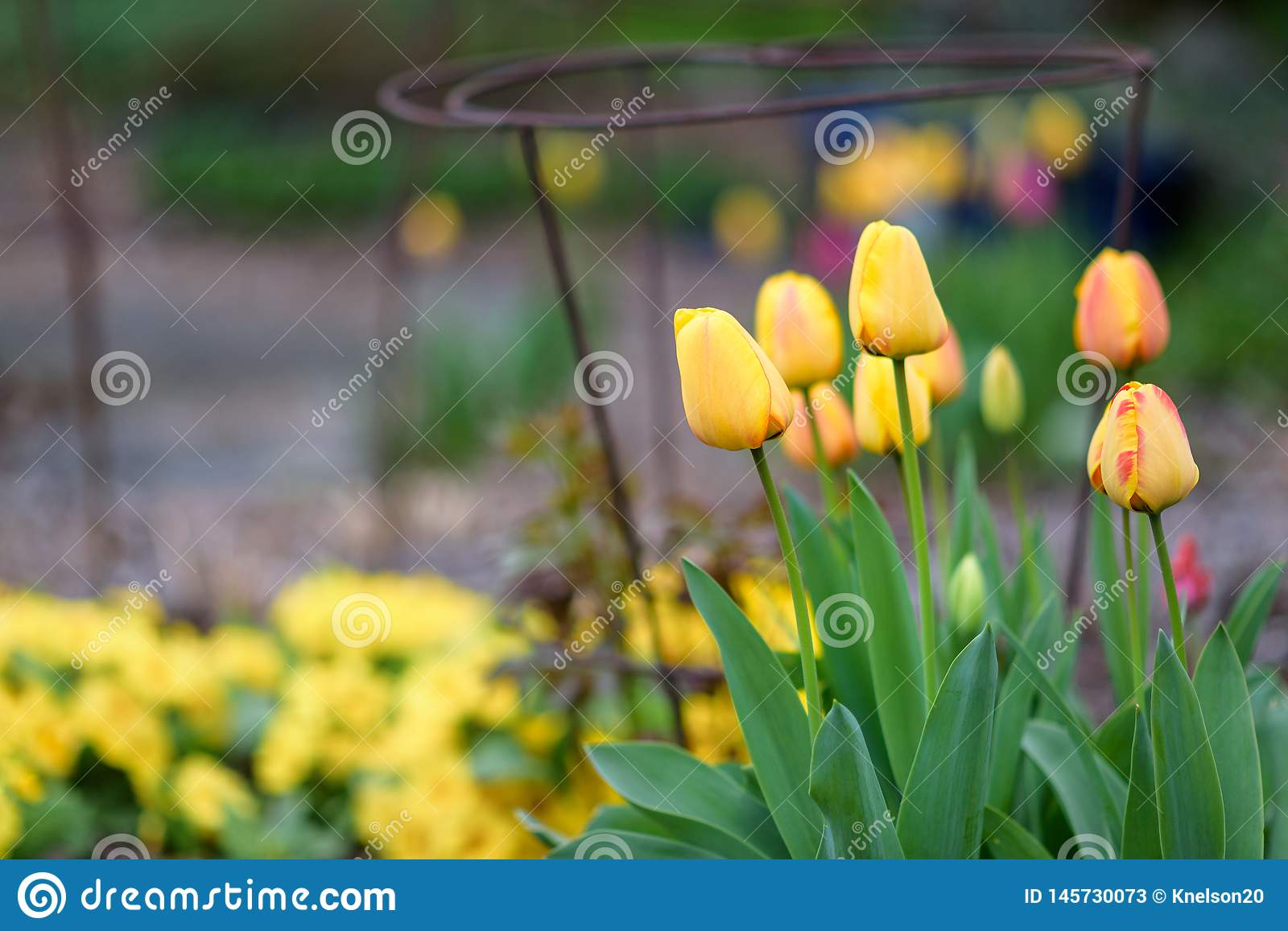 Spring flowers growing in a home garden, yellow and red tulips, metal plant supports and other plants in the background, springtim