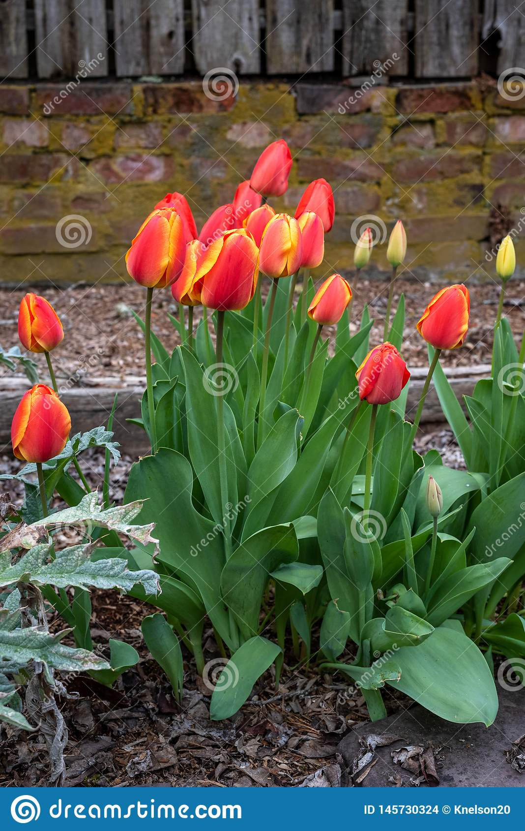 Spring flowers growing in a home garden, yellow tulips and red and yellow tulips, brick wall in the background, springtime in the