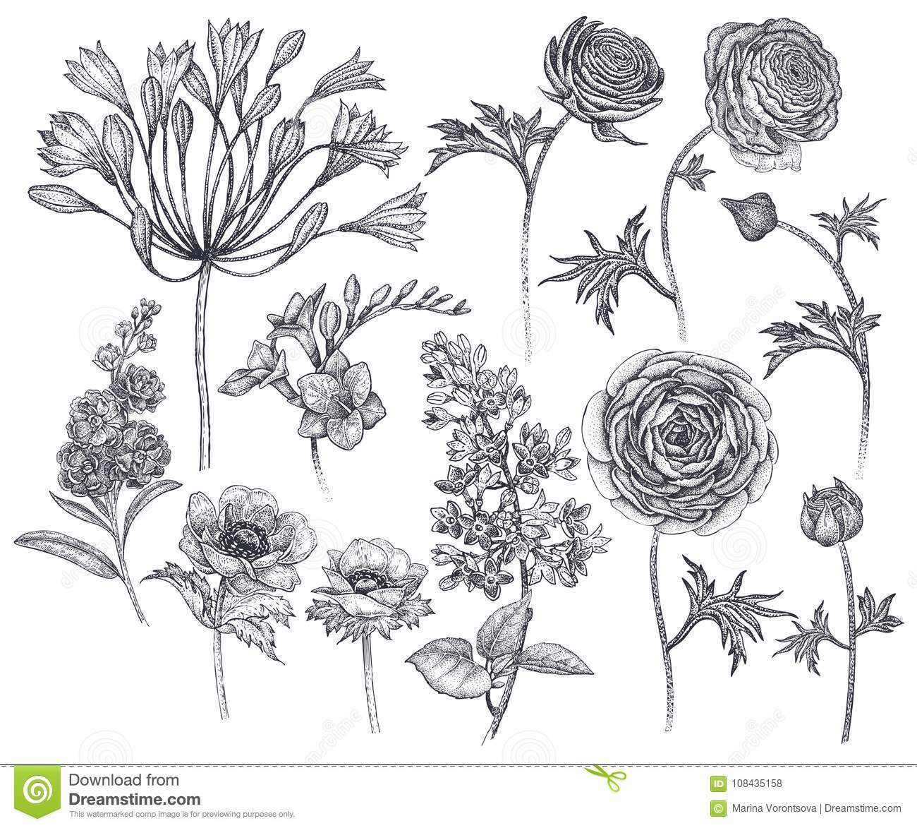 0501a68be Hand drawing African lily, ranunculus, anemones, lilac, freesia, violet  black ink on white background. Vector illustration art floral design.