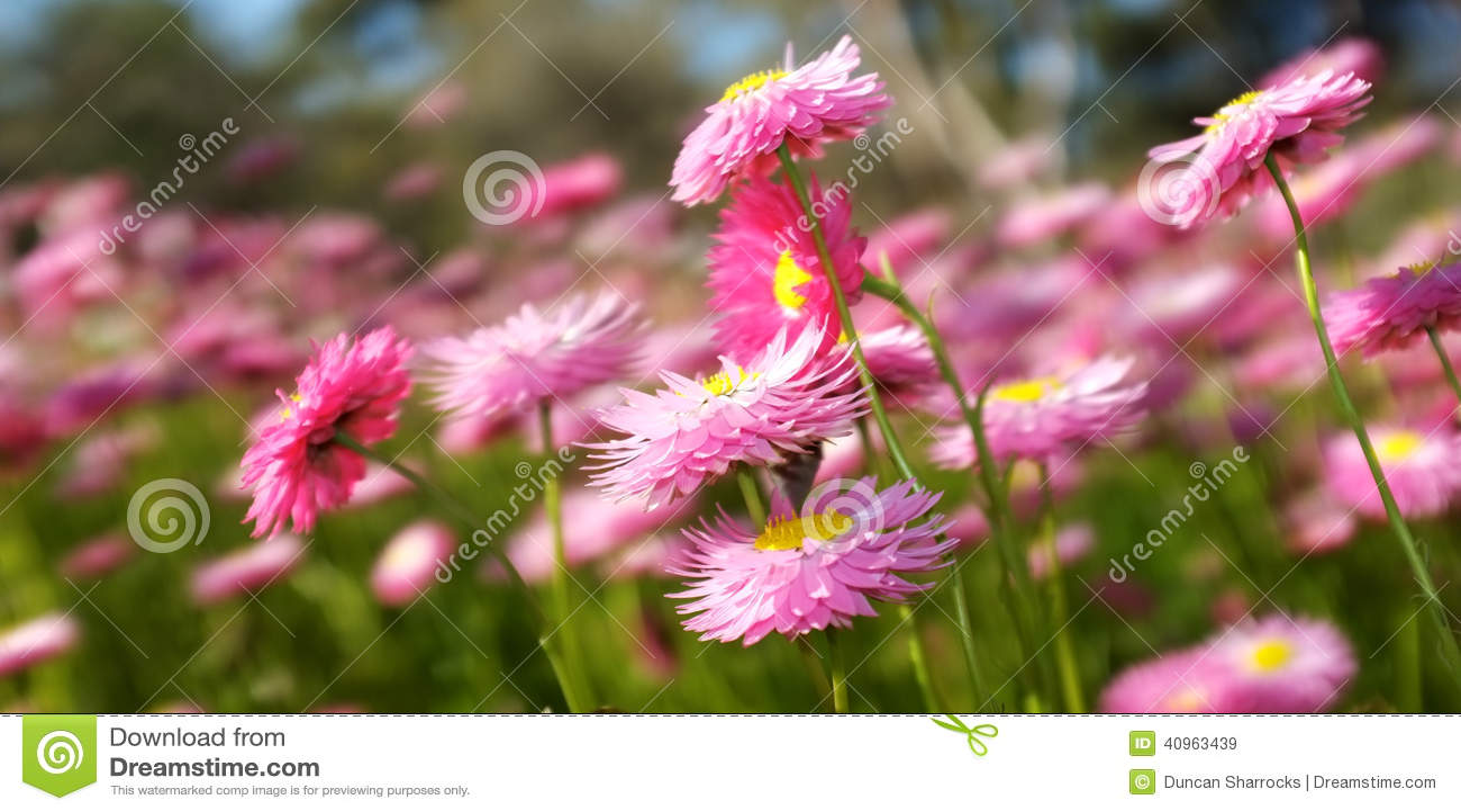 Spring Flowers Kings Park Western Australia Stock Image Image