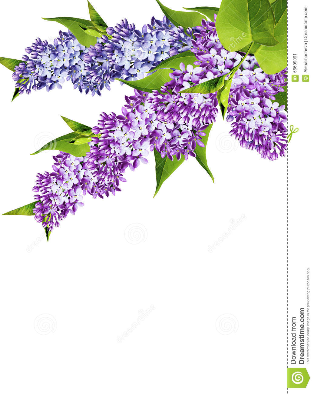 Spring Flowers Lilac Isolated On White Background Stock Image