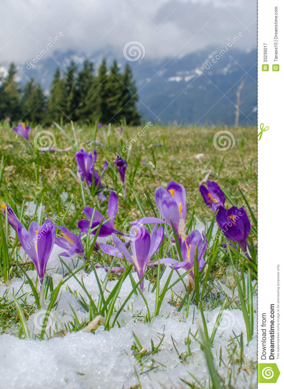 Spring flowers in mountains stock image image of beautiful purple spring flowers in mountains mightylinksfo