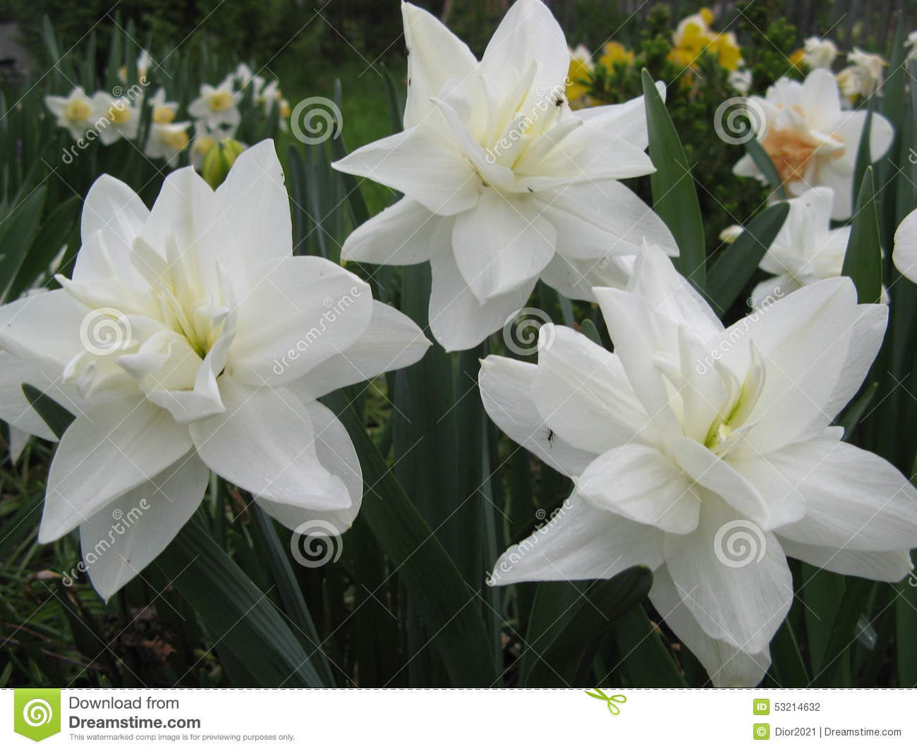 Spring Flowers Narcissus White Medal Stock Photo Image Of Rural